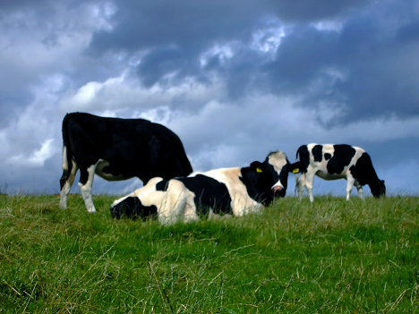 Cara membuat pakan ternak sapi
