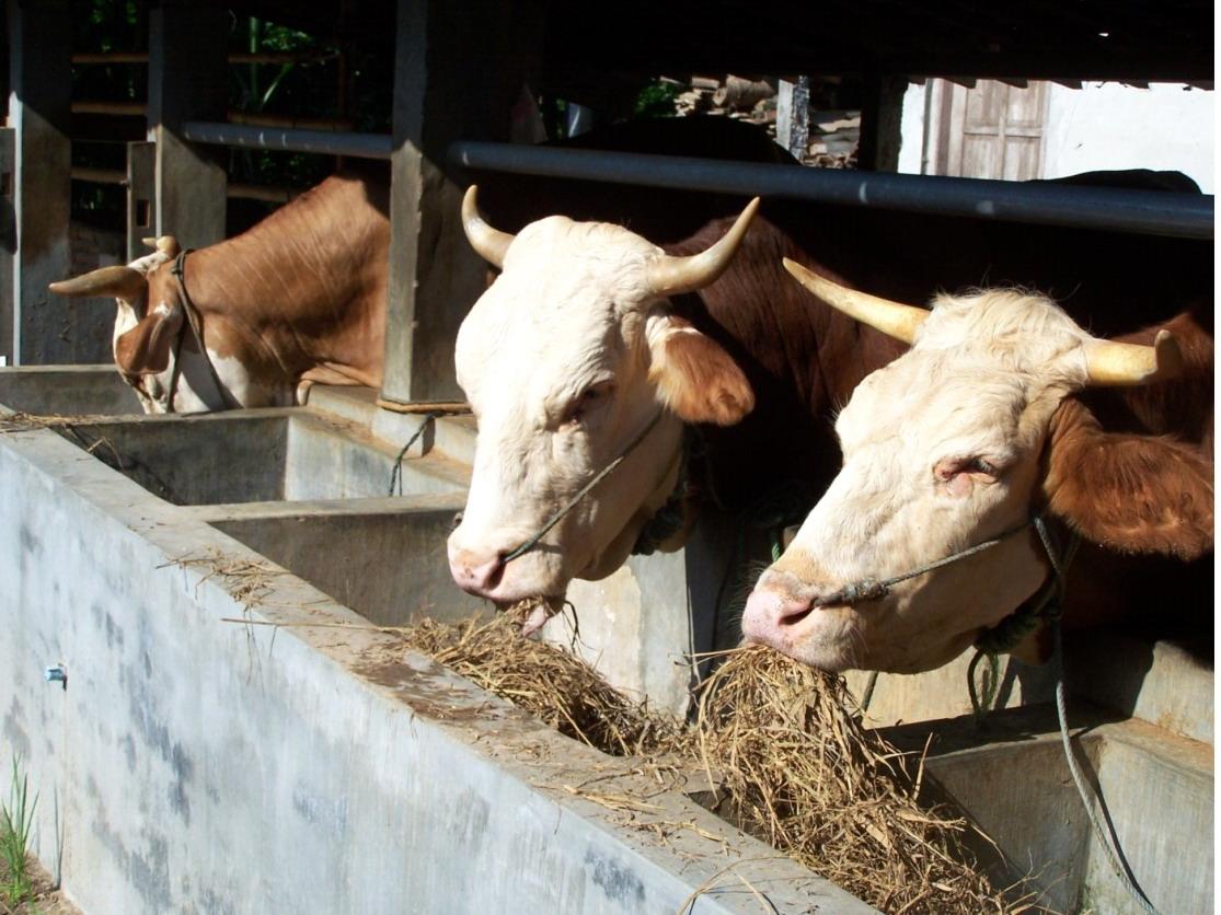 peluang usaha pakan ternak sapi