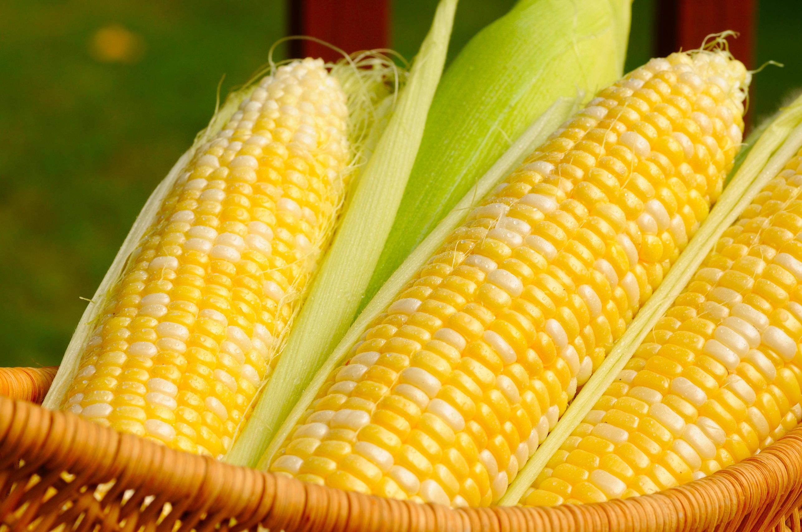 manfaat bonggol jagung