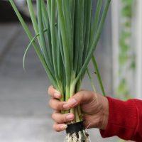 masa panen bawang merah hidoponik