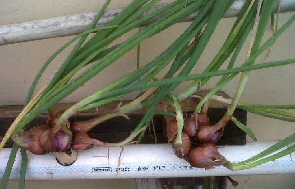 masa panen bawang merah hidroponik