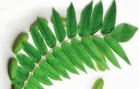daun belimbing